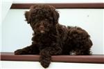 Picture of Demi / Miniature Poodle