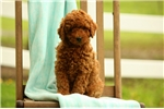 Picture of Celty / Miniature Poodle