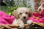 Picture of Doom / Miniature Poodle