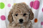 Picture of Bailey / Miniature Poodle