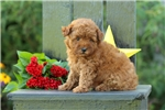Picture of Easton / Miniature Poodle