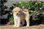 Picture of Timmy / Miniature Poodle