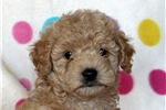 Picture of Becky / Miniature Poodle