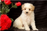 Picture of Butterfly / Miniature Poodle