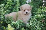 Picture of Peaches / Miniature Poodle