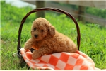 Picture of Harper / Miniature Poodle