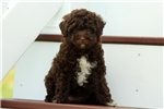 Picture of Daphne / Miniature Poodle