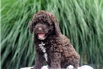 Picture of Cody / Miniature Poodle