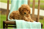 Picture of Carson / Miniature Poodle