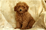 Picture of June / Miniature Poodle