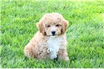 Picture of Clayton / Miniature Poodle