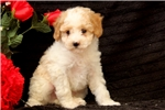 Picture of Bouncer / Miniature Poodle
