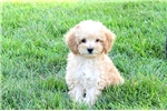 Picture of Cambria / Miniature Poodle