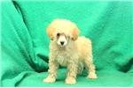 Picture of Goldilocks / Miniature Poodle