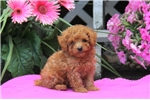 Picture of Andy / Miniature Poodle