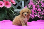 Picture of Ace / Miniature Poodle