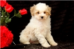 Picture of Buster / Miniature Poodle