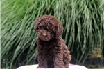Picture of Chloe / Miniature Poodle