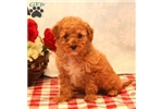 Picture of Benji / Miniature Poodle