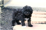 Picture of Chuckles / Miniature Poodle