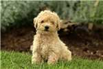 Picture of Natalie / Miniature Poodle