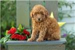 Picture of Ellie / Miniature Poodle