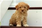 Picture of Donavan / Miniature Poodle
