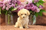 Picture of Macy / Miniature Poodle