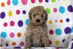 Picture of Brendon / Miniature Poodle