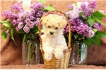 Picture of Marigold / Miniature Poodle