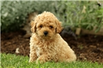 Picture of Nikki / Miniature Poodle