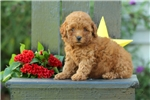 Picture of Emery / Miniature Poodle