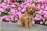 Picture of Beauty / Miniature Poodle