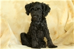 Picture of Jordy / Miniature Poodle