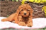 Picture of Sunshine / Standard Poodle