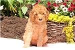 Picture of Sasha / Standard Poodle