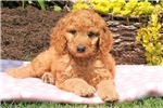Picture of Sage / Standard Poodle