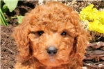 Picture of Suki / Standard Poodle