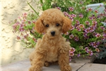 Picture of Max / Toy Poodle