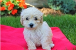 Picture of Jasmine / Toy Poodle