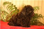 Picture of Winston / Toy Poodle