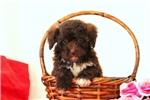 Picture of Rascal / Toy Poodle