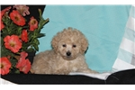 Picture of Holly / Toy Poodle