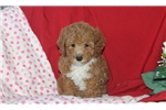 Picture of Gracie / Toy Poodle