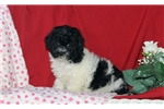 Picture of Fern / Toy Poodle