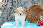 Picture of Austin / Toy Poodle