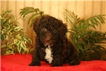 Picture of Wilbur / Toy Poodle