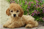 Picture of Marvin / Toy Poodle