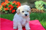 Picture of Jackson / Toy Poodle