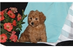Picture of Hillary / Toy Poodle